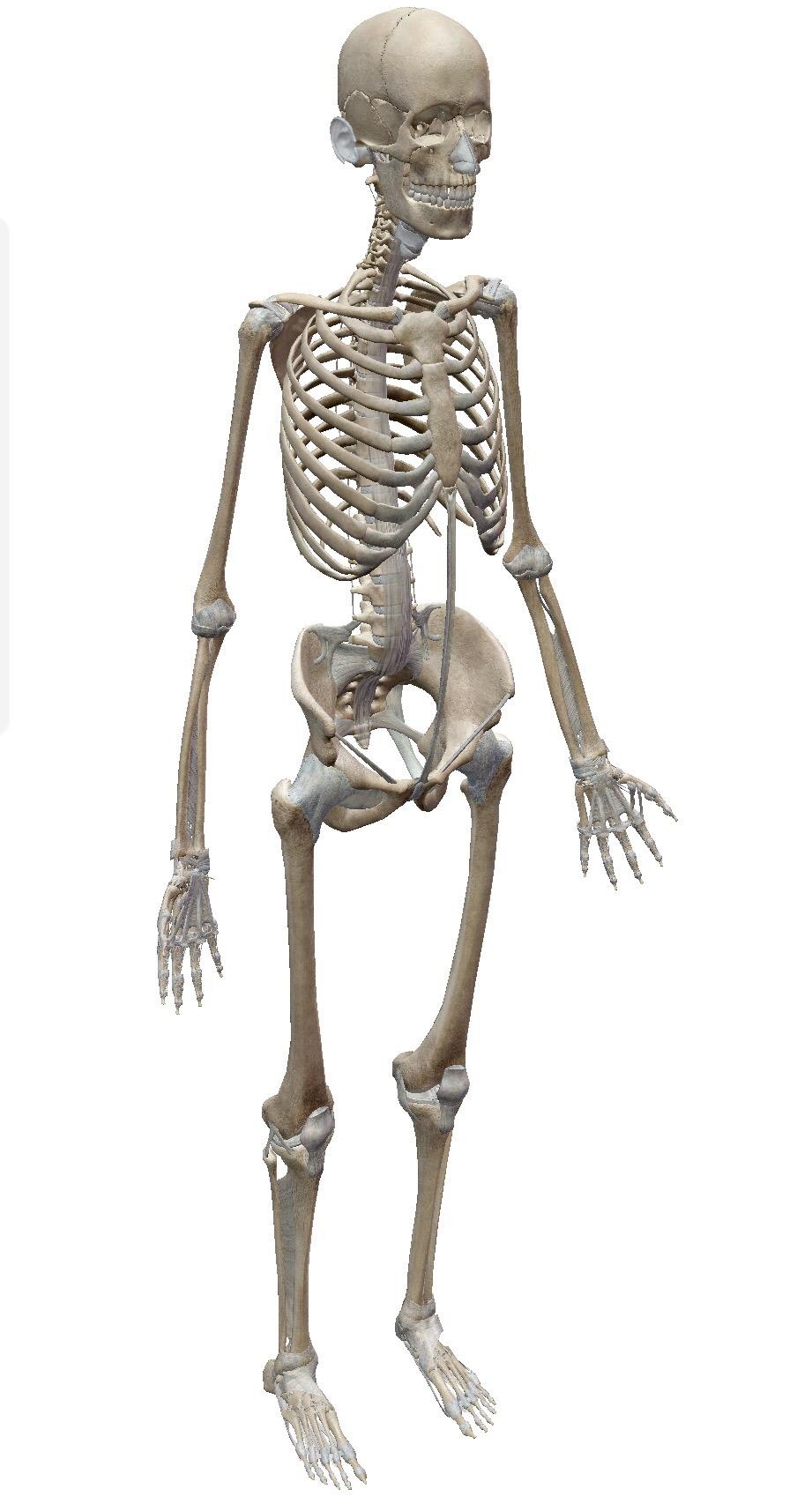 【仕事のこと】ヨガで解剖学、体の勉強の仕方。